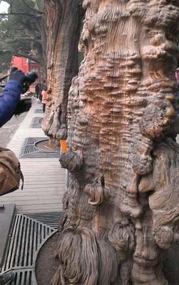 beijing-forbidden-city-trees