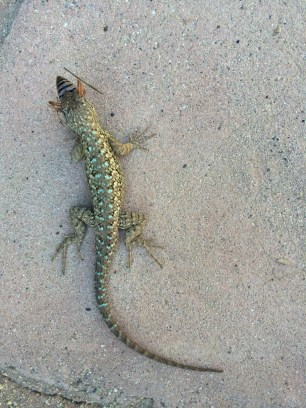 Ojai, lizard swallowing bug bigger than his head.