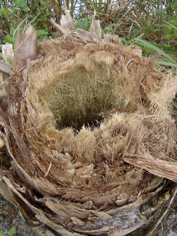 Palm stump