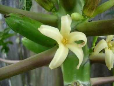 papaya bloom two