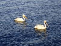 2 white pelicans 2