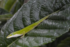 green anole (3)