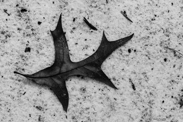 oak leaf in sugar sand