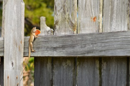showy brown anole