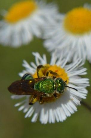 Halictid Bee (1)