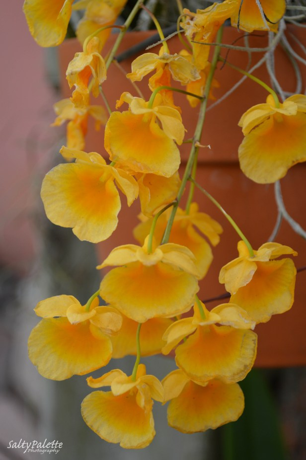 orchids NBG (1)