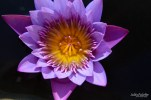 water lily Naples BG (3)