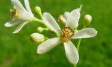 Beneficios para la salud de la flor de neem