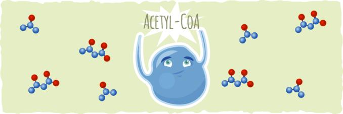 Acetil CoA
