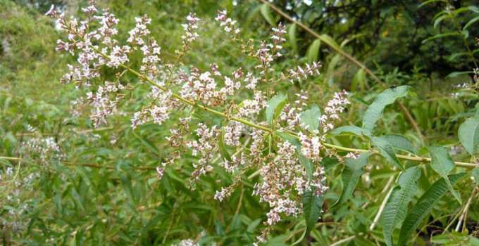 Cedrón, cidrón o hierbaluisa: cuáles son sus propiedades