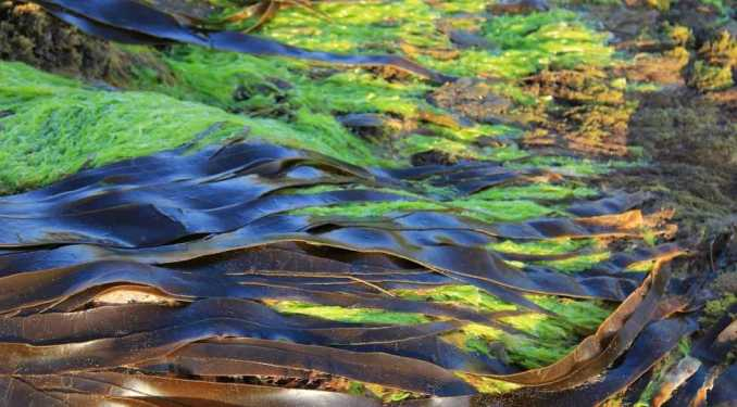 Beneficios para la salud del quelpo (alga marina)