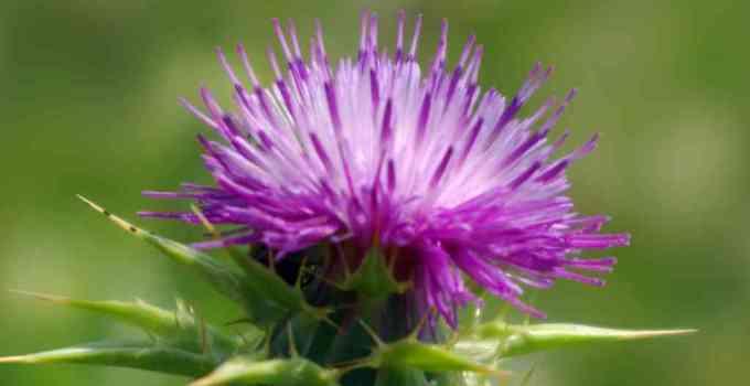 Beneficios del Cardo Mariano - Cardo de Leche - Beneficios, usos y efectos secundarios