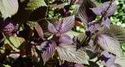 Beneficios del Aceite de Perilla (Perilla frutescens)