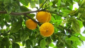 Bergamotto, frutto della salute per il cuore