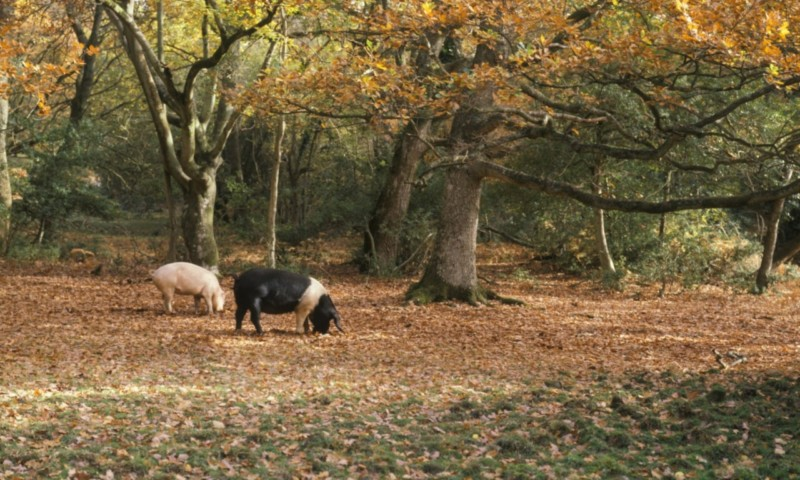 Mandatory Credit: Photo by FLPA/REX Shutterstock (3272199a) Domestic Pig, two sows, feeding on acorns, 'Pannage foraging in woodland, New Forest, Hampshire, England, autumn Nature