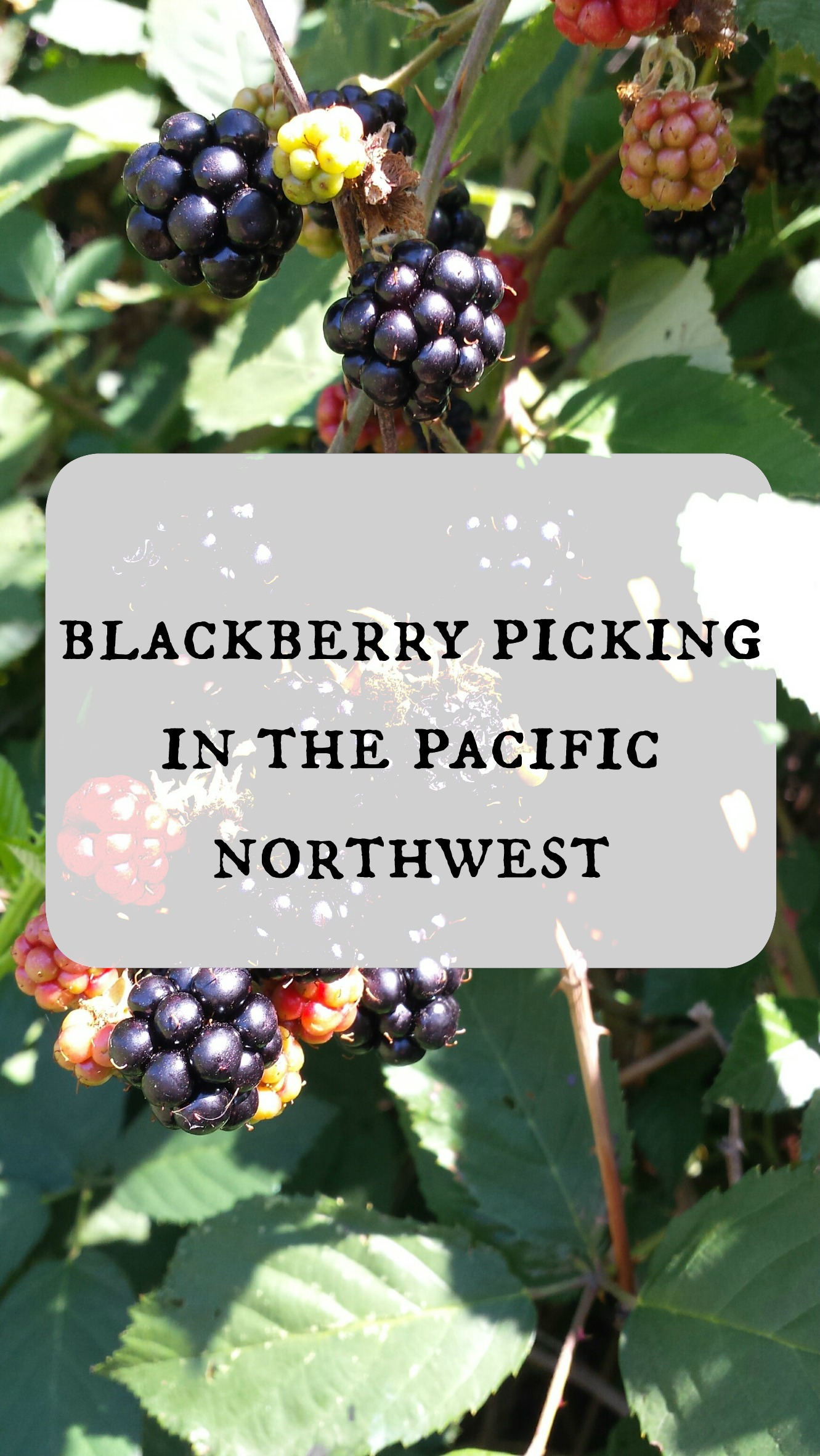 BLACKERRy picking in the pnw
