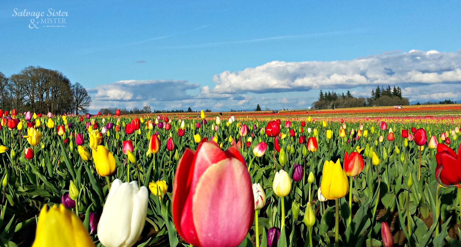 Tulip Festival at Wooden Shoe