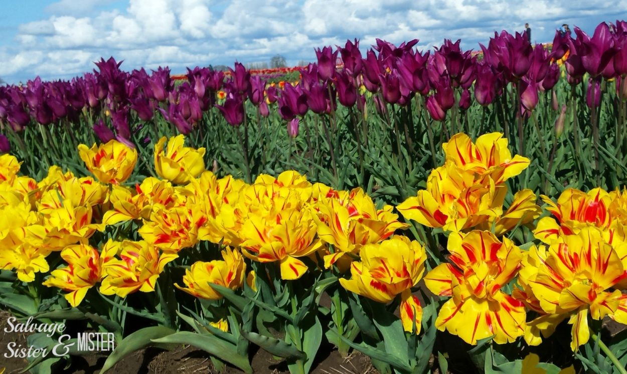 Wooden Shoe Tulip Farm -Tulip Festival in Woodburn Oregon. Walking access to over 40 acres of tulips. Fun for all ages. What to do in Oregon. Spring time in Oregon.