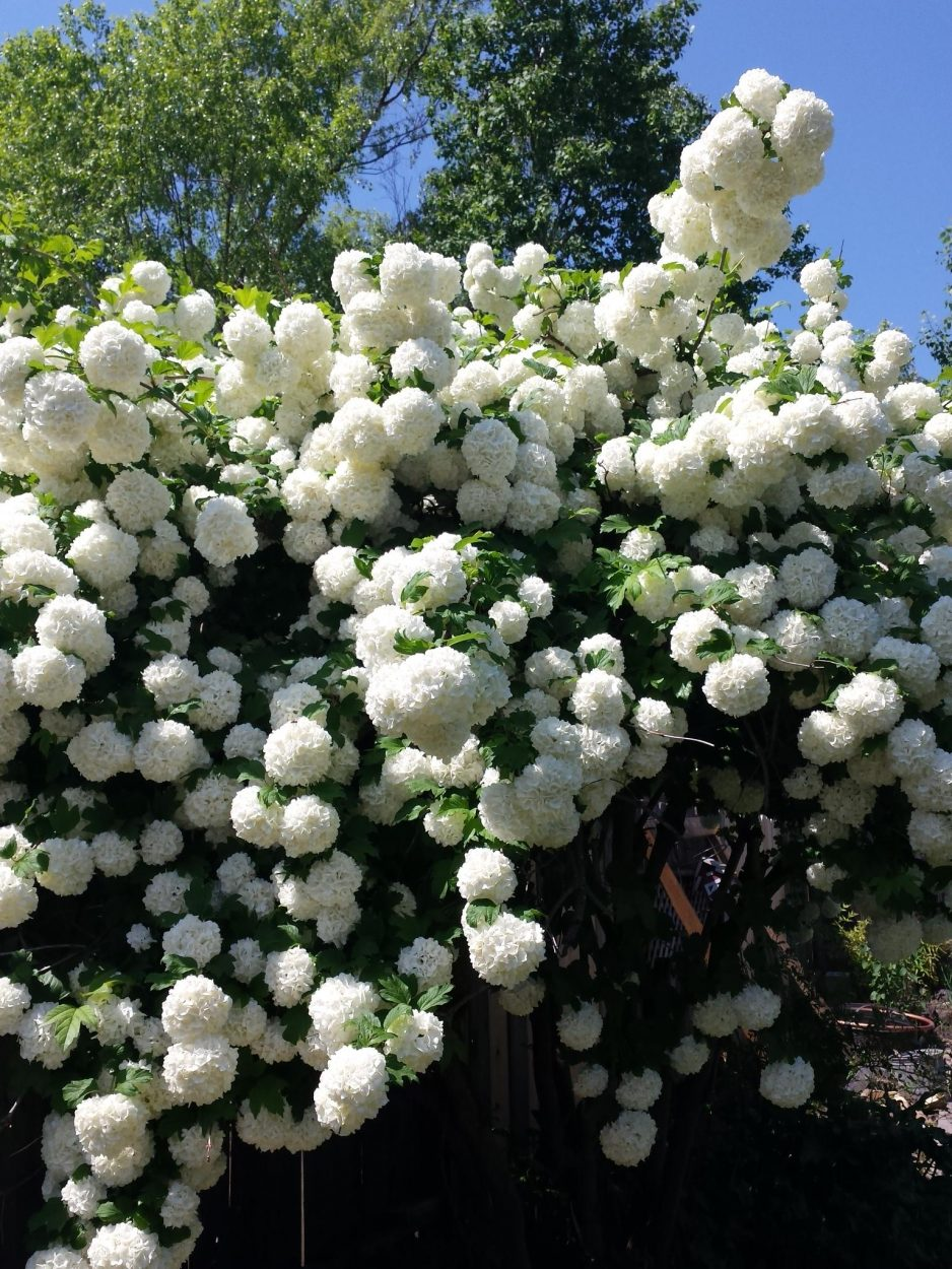Snowball tree in Southern Oregon - https://www.salvagesisterandmister.com