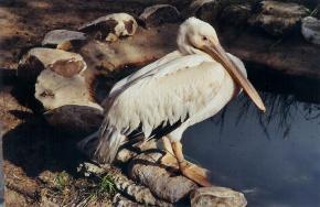 pelican-senegal