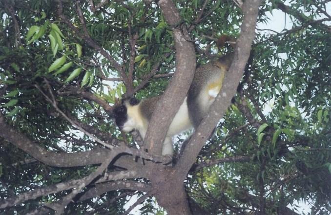Les singes du Bandiala