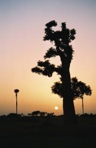 Baobab au soleil couchant
