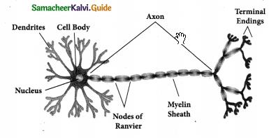 Samacheer Kalvi 9th Science Guide Chapter 18 Organization of Tissues 5