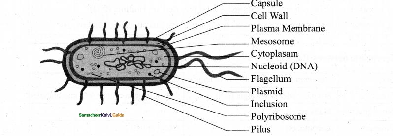 Samacheer Kalvi 11th Bio Botany Chapter 1 Living World 8