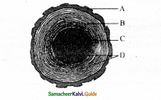 Samacheer Kalvi 11th Bio Botany Guide Chapter 10 Secondary Growth 6