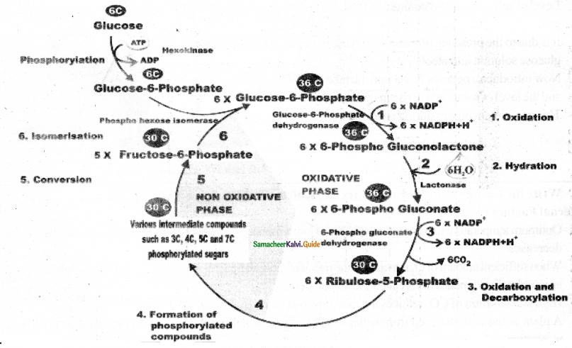 Samacheer Kalvi 11th Bio Botany Guide Chapter 14 Respiration 16