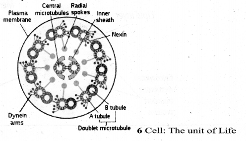 Samacheer Kalvi 11th Bio Botany Guide Chapter 6 Cell The Unit of Life 17