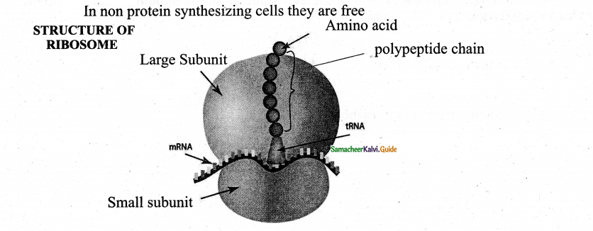 Samacheer Kalvi 11th Bio Botany Guide Chapter 6 Cell The Unit of Life 25