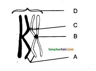 Samacheer Kalvi 11th Bio Botany Guide Chapter 7 Cell Cycle 12