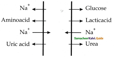 Samacheer Kalvi 11th Bio Zoology Guide Chapter 8 Excretion 6