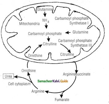 Samacheer Kalvi 11th Bio Zoology Guide Chapter 8 Excretion 9