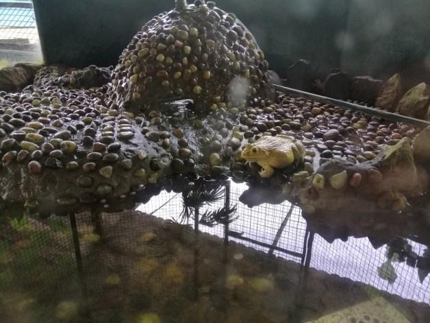 white frog at jong's crocodile farm
