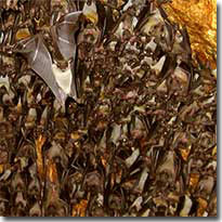 Samal Island Fruit Bats