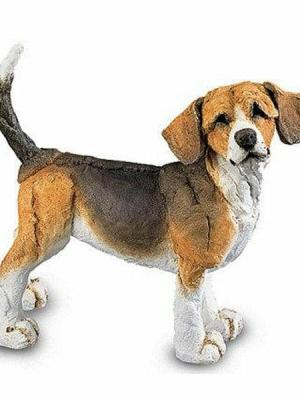 Beagle, Mini by A Breed Apart