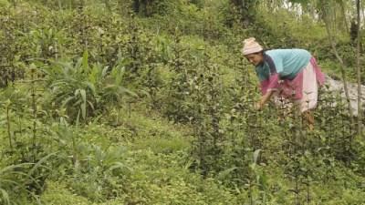 दाङमा जडीबुटी खेती कार्यक्रम शुरु