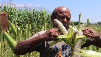 मकैको घोगामा लागेन दानाः किसान चिन्तित