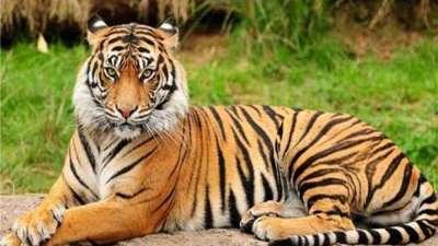बाक्लै देखिन थाले बाघ