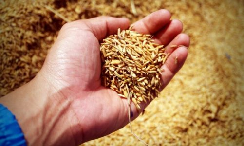 A new technique to boost rice production
