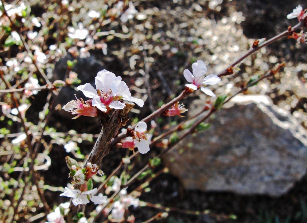 Flowering Almond