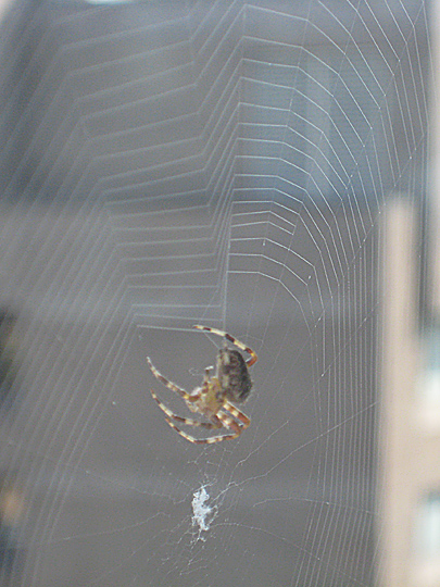 Araneus diadematus or Cross Orbweaver weaving a web