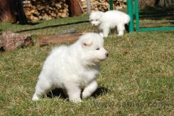 Samoyed puppies 11