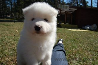 Samoyed puppies 12
