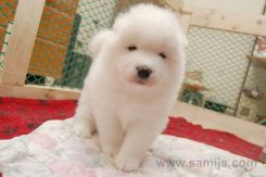 Samoyed puppies 15