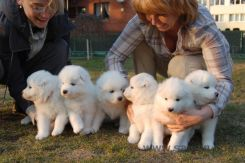 Samoyed puppies 16