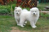 Samoyed puppies 8