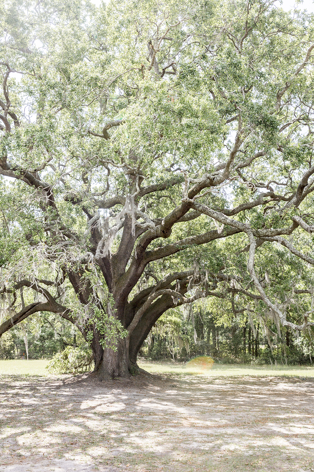 Charleston Tea Plantation on Wadmalaw Island in South Carolina